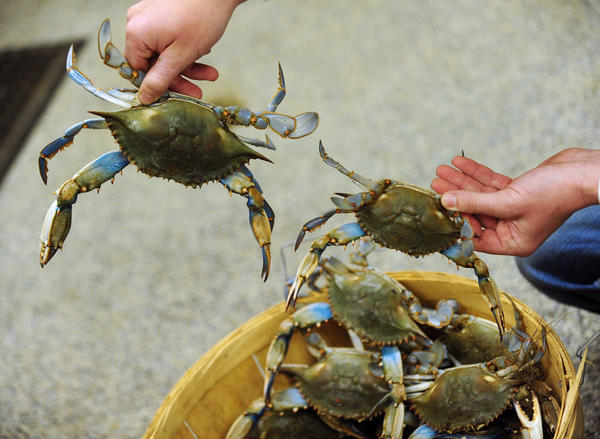 Jesse Lowers, of Lowers Crab Shack in Essex, shows a large and small Maryland blue crab that he received in a small shipment. Jesse said the temperatures are still a bit cold for a good harvest, but the summer holds great promise.