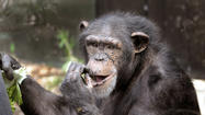The Maryland Zoo announces stillborn chimpanzee birth