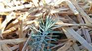 Last spring, Corina Roberts found herself with 2,500 pinyon pine tree seedlings and nowhere to plant them.
