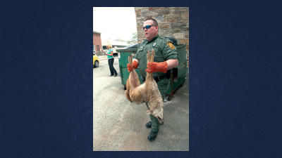 When a female coyote was captured near the Somerset County Jail on Tuesday the incident brought into focus our changing and often more intimate than we think relationships with wildlife.