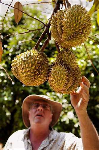 Ken Love, an exotic fruit specialist, reaches for durian grown in Captain Cook.