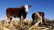 How will mad-cow disease affect California's dairy and beef industry?