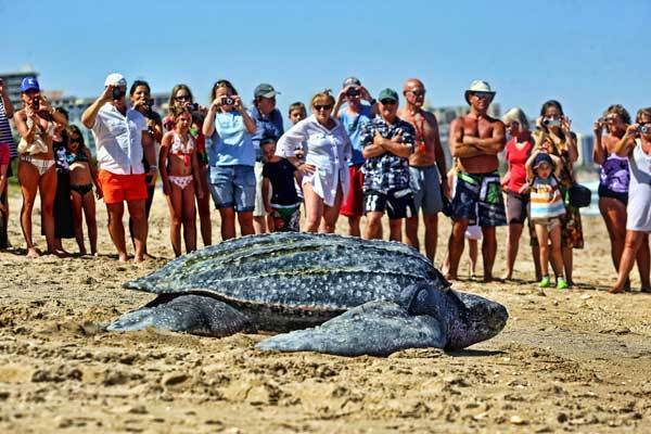 A crowd gathers to watch on Pompano Beach as a leatherback turtle crawls back to the ocean after making an unsuccessful attempt to lay eggs on the beach. It is very rare for a turtle to lay eggs during the day.
