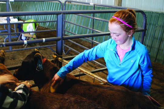 Maddie Diede, a student at Lincoln Elementary, brushes a calf at the Ag Fair on Tuesday. American News Photo by Jeff Natalie-Lees