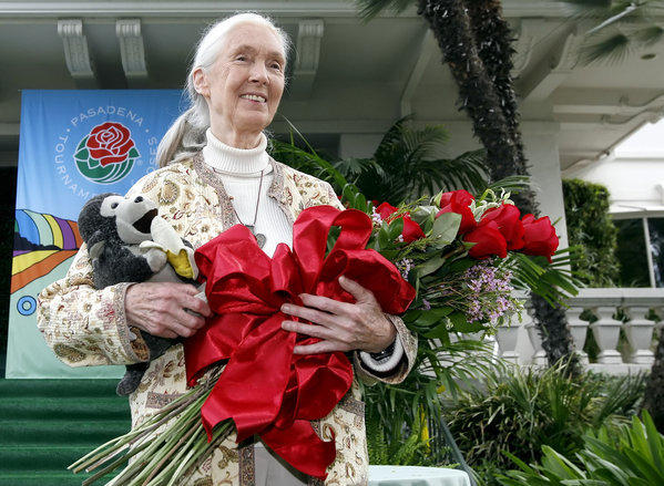 United Nations Messenger of Peace Dr. Jane Goodall will serve as the grand marshal of the 2013 Tournament of Roses festivities, announced at the Tournament House in Pasadena.