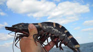 Be on the lookout for the Asian tiger shrimp, an invader from the Pacific Ocean that has turned up in Hillsboro Inlet, Hobe Sound and points from North Carolina to Texas.