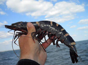 The Asian tiger shrimp has begun showing up off the southeast coast of the United States, possibly escaping from fish farms or arriving via ship ballast water.