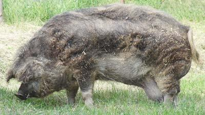 A swallow bellied Mangalitsa sow