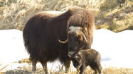New Musk Ox Calf at Alaska Wildlife Conservation Center