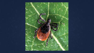 The common deer tick is one of the most well-known carriers of Lyme Disease.