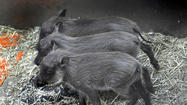 Pictures: Baby warthogs born at Maryland Zoo