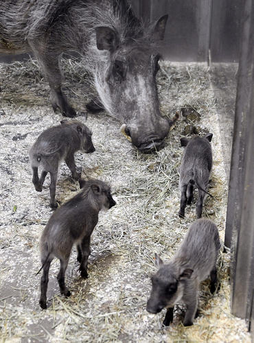 The mother and her babies have spent the weeks since the birth bonding. Mother warthogs nurse and care for their offspring until they are about 21 weeks of age, zoo officials say.