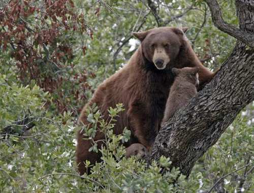 A mother bear and her two cubs climbed up on a tree on the 1400 block of Edgecliff Drive in Altadena on Thursday.