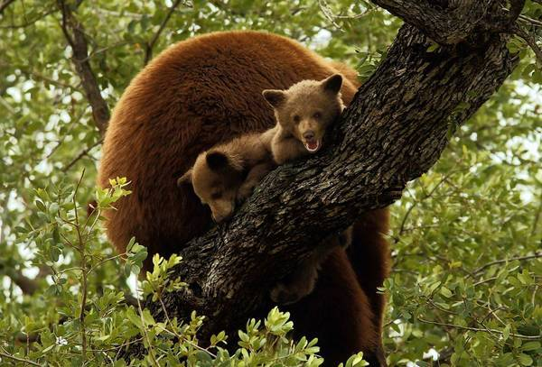 A mother bear and her two cubs settle down in a tree above a home in Altadena.