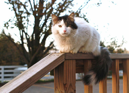 "Perched on the rail by the kitchen entrance, Spike the cat, waits patiently for his owner, Nancy Grunch of Charlevoix, to return home and let him in. ""He rules the roost,"" Grunch commented."