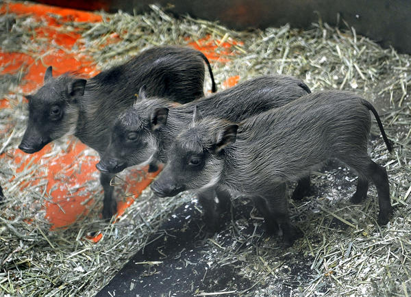 The Maryland Zoo in Baltimore is pleased to announce the birth of four common warthog piglets, born on Wednesday, April 4 to Kumari and Kijani, the Zoo's warthog pair. This is the second litter for Kumari, the 7-year-old female warthog.