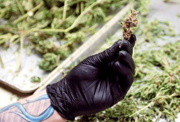 A worker holds up a marijuana bud in a medical marijuana center in Denver.
