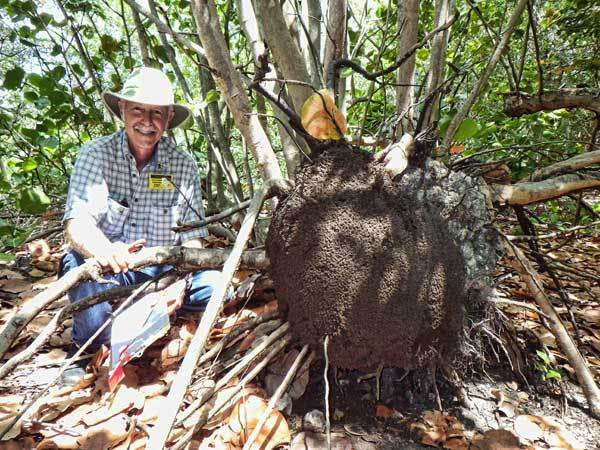 John warner next to a nest of nasutitermes termite native for Fish native to florida