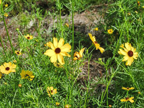 Coreopsis is  Florida's official wildflower. The Florida Federation of Garden Clubs has teamed up with D.O.T. to encourage the planting of wildflowers along roadsides in Florida The colorful flowers are used extensively in Florida's roadside plantings and highway beautification programs primarily in north and central Florida, but have also been tried locally in south Florida with success.  There are many varieties of native Coreopsis. Most grow best in upland areas in full sun, and  in slightly moist, well-drained soil. Established plants will tolerate some short-term dry periods.  Since it is not very tolerant of excessive water it seems to do best in central and northern Florida than south Florida. If planting in south Florida, one must consider drainage and not plant in low lying areas. They are a nice addition to the background of a butterfly garden as they grow 2-3 feet tall.