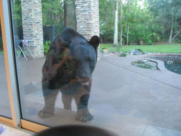 A Florida black bear on the patio of a house. Note reflection of child in window. There are more black bear in Florida than at any time in the past century.