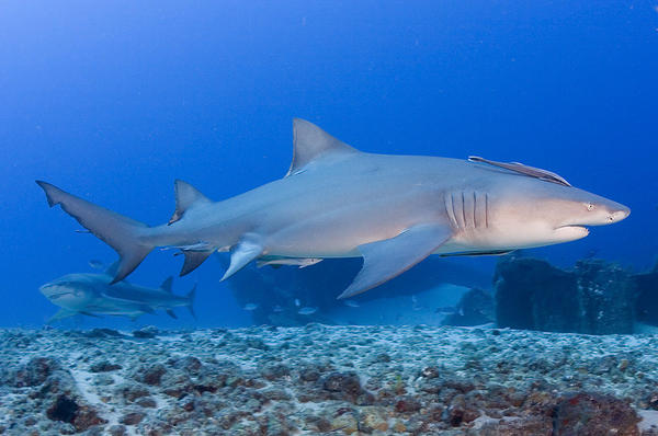 The lemon shark survives on a diet of catfish, mullet, croakers, porcupine fish and eagle rays. A native of the east Pacific coast and the southwest Atlantic Ocean, it can grow up to 10 feet.