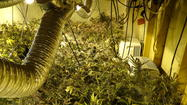 Howard County police seize 341 marijuana plants in Laurel