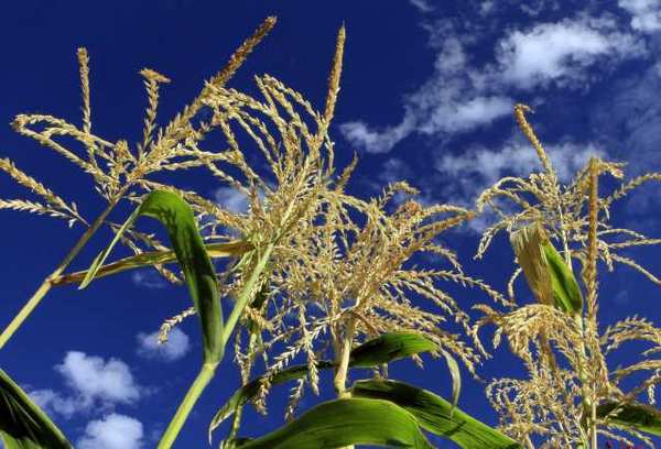 The USDA expects a record corn crop this upcoming season.