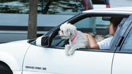 SPRINGFIELD—The Illinois Senate barked down a bill that would have banned Fido and other pets from being in the lap of a driver while on the road, but the vote came only after Democrats managed to nip at Republican presidential candidate Mitt Romney for once driving with the family dog on the roof of a car.