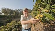Market Watch: Above the ocean in Malibu, a rare orchard of loquats