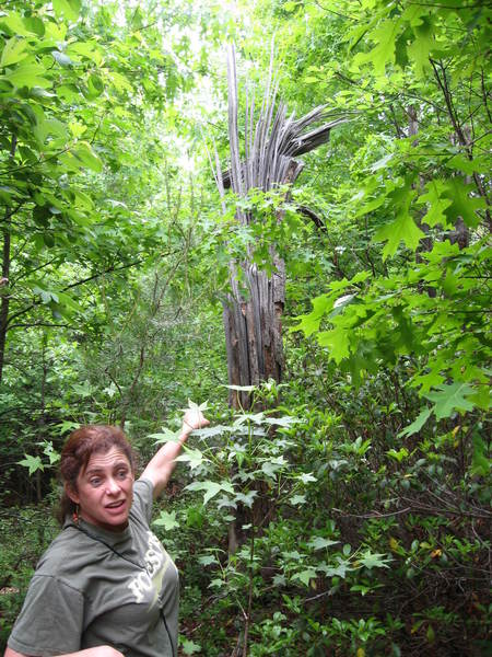 Prof. Marla McIntosh points out tree killed by storm on UM's wooded hillock. Lightning strikes and a 2001 tornado have cut clearings in the forest, making room for new plants and trees to grow up.