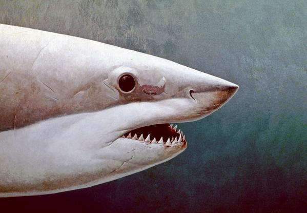 "Richard Ellis' ""Great White Shark Portrait"" is on view in the Museum of Art's ""Shark."""