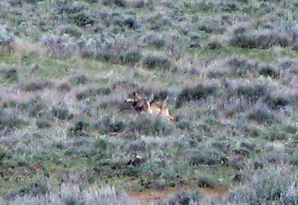 California's only known wolf in the wild, known by his Oregon name OR7, was seen this week in Modoc County. This is the only color photo of the wolf; it was taken by a Department of Fish and Game employee.
