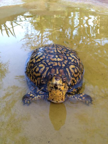 Zippy, the Eastern box turtle from Flamingo Gardens in Davie. Zippy and a Florida box turtle were reported missing from the botanical gardens and wildlife sanctuary since May 6. Photo: Laura Wyatt.
