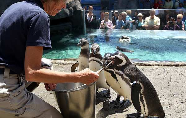 Biologist Karen Anderson feeds Magellanic penguins in the Aquarium of the Pacific's new permanent exhibit.