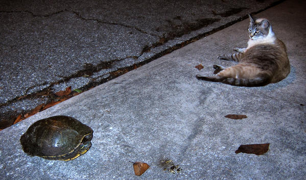 "Mocha the cat keeps an eye on a ""Red-eared Slider,"" Florida's pet-turtle-turned-invasive-species, in a Maitland neighborhood, Monday, May 14, 2012. After 50 years of now-illegal pet sales, and subsequent releases by pet owners into the wild,  the semi-aquatic turtles remain a ubiquitous presence in central Florida's lakes and waterways."