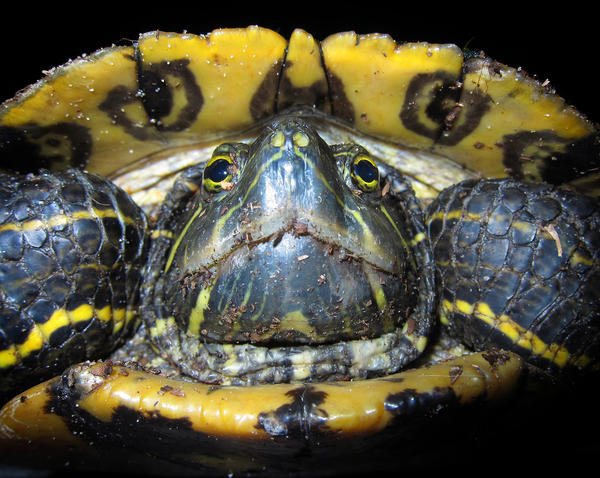 "A ""Red-eared Slider,"" Florida's pet-turtle-turned-invasive-species, in a Maitland neighborhood, Monday night, May 14, 2012."