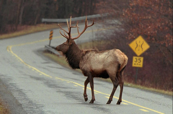 An elk crossing road in Pennsylvania, 1998.