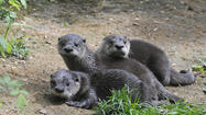 The three otters were born in February to Dixie, a 3-year-old female, and Oogie, a 10-year-old male. The pups are the first North American river otters born in a New York City zoo or aquarium since 1956 at WCS's Bronx Zoo.