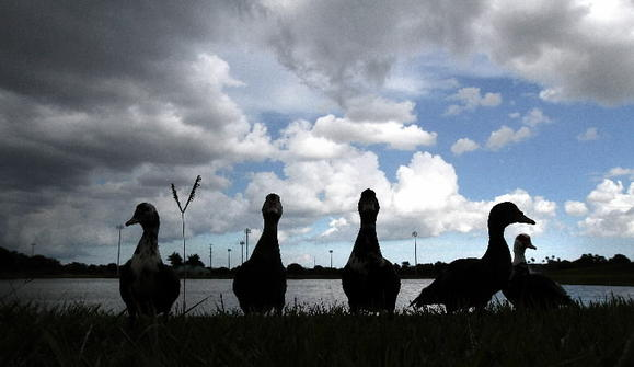 Not bad weather for ducks: Expect a mix of sun and rain over the weekend.