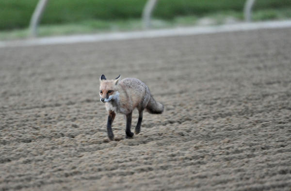 A fox visits the track at Pimlico Race Course during an early morning workout before Preakness 2012.