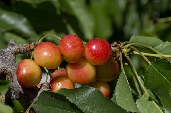 Royal Rainier cherries at Murray Family Farms in Arvin.