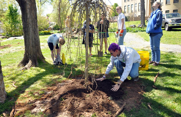 Volunteers from this year's Arbor Day event in Shepherdstown, W.V.a., plant a weeping mulberry tree in honor of Dr. William Reese, the first chair of the biology department.