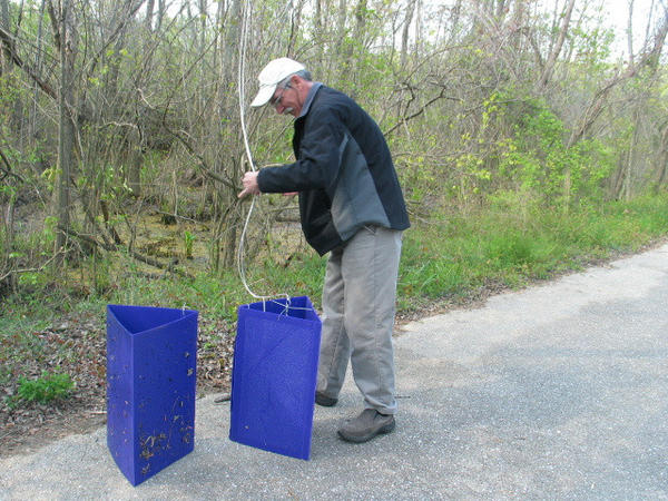 Dick Bean of Maryland Department of Agriculture prepares to hang a pair of traps designed to attract emerald ash borers so officials can detect their spread.