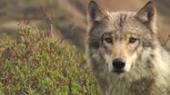 Death of Two Denali Park Wolves Has Biologist Asking For More Protection