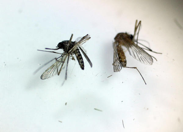 A floodwater mosquito, left, and a culex mosquito at the Northwest Mosquito Abatement District in June 2011. The culex can carry the West Nile Virus whereas the floodwater is more of a pest, officials say.