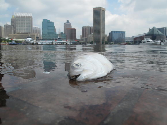 Fish kills spread to Inner Harbor, Fort McHenry