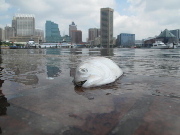 Dead fish washed up on Inner Harbor lower promenade near Maryland Science Center.