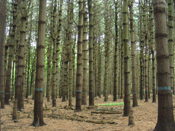 An abandoned Christmas tree farm has grown into a towering pine grove within Highlawn Forest in Middletown.