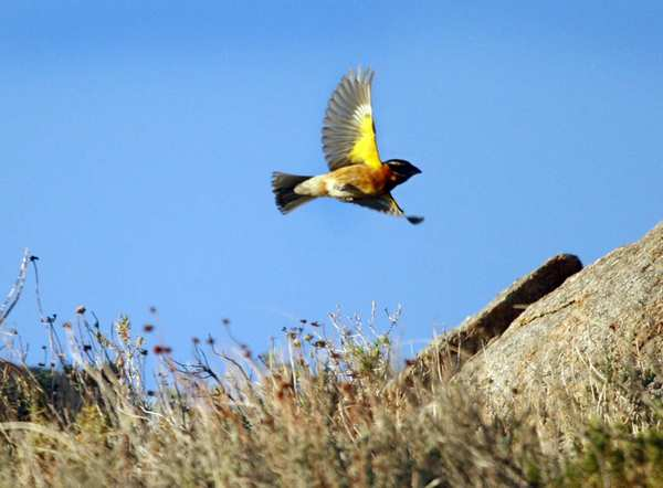 A male black-headed grosbeak takes flight during sunrise in Butterbredt Springs.