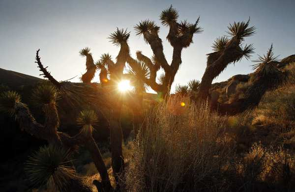Joshua trees dot the landscape at sunrise in Butterbredt Springs, one of the best birding spots in the nation. It's near a wind farm, and environmentalists are concerned about the threat to birds from the wind turbines.